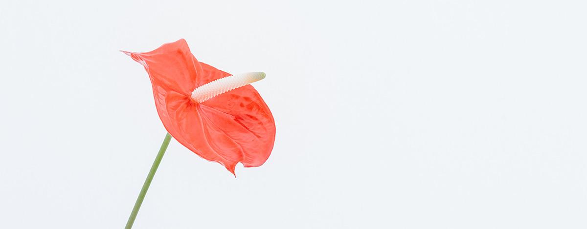 Sa Vorbim Putin Despre Flori Floraria Anthurium Constanta
