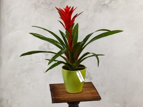 Planta de apartament Guzmania