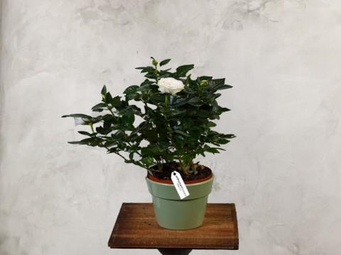 Minirosa alba - Planta de apartament