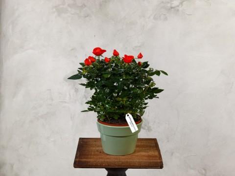 Minirosa portocalie - Planta de Apartament