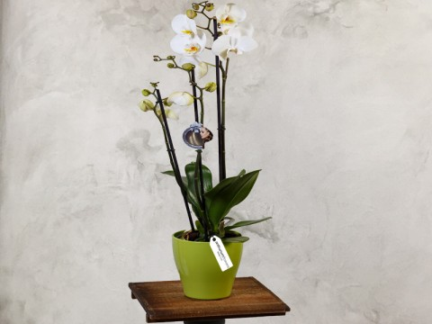 Orhidee Phalaenopsis alba - Planta de apartament