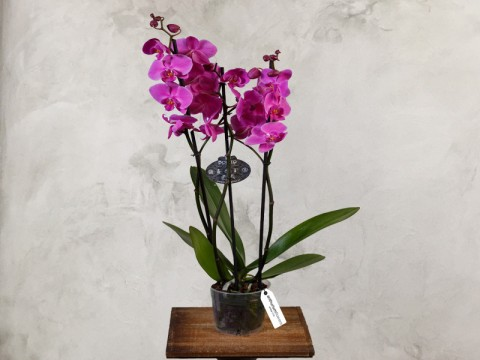 Orhidee Phalaenopsis mov - Planta de Apartament