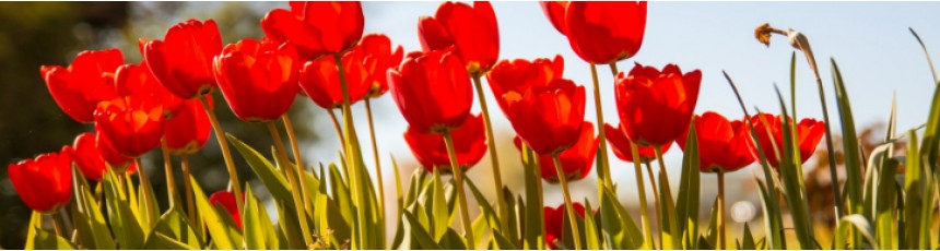 Buchete lalele si aranjamente florale din lalele - livrare online buchete lalele Constanta