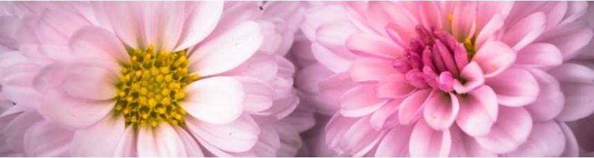 Buchete crizanteme si aranjamente florale din crizanteme cu livrare in Constanta