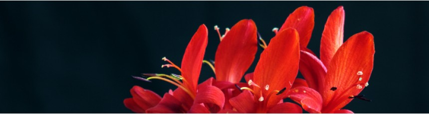 Buchete frezii si aranjamente florale din frezii cu livrare in Judetul Constanta.