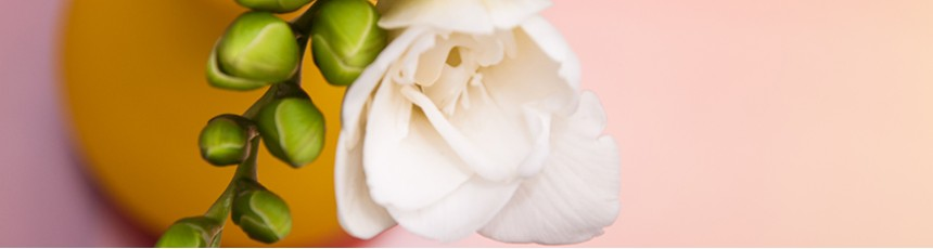 Frezii, buchete frezii si aranjamente florale din frezii cu livrare in Judetul Constanta.