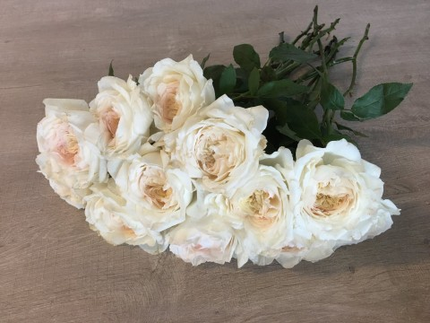 David Austin Wedding Rose PURITY
