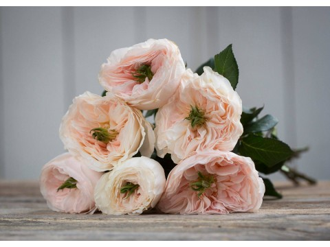 David Austin Wedding Rose Charity
