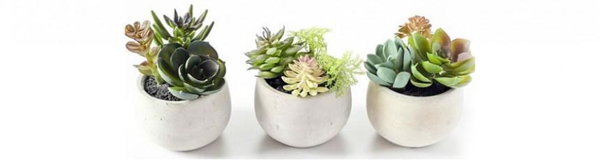 Plante apartament, plante interior cu livrare in Judetul Constanta